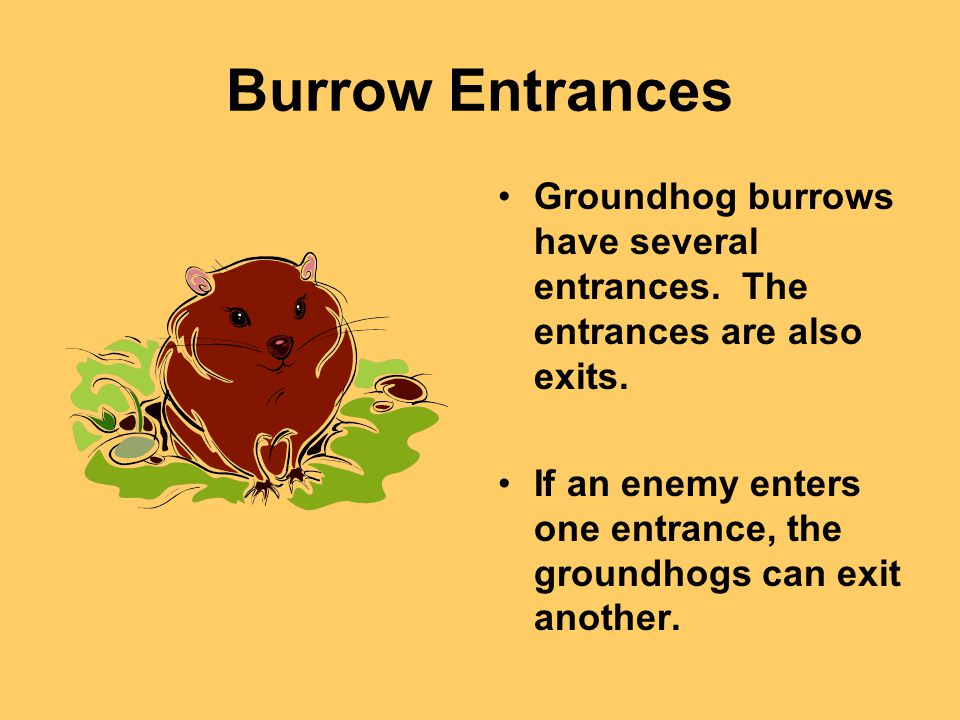 Burrow Entrances Groundhog burrows have several entrances.