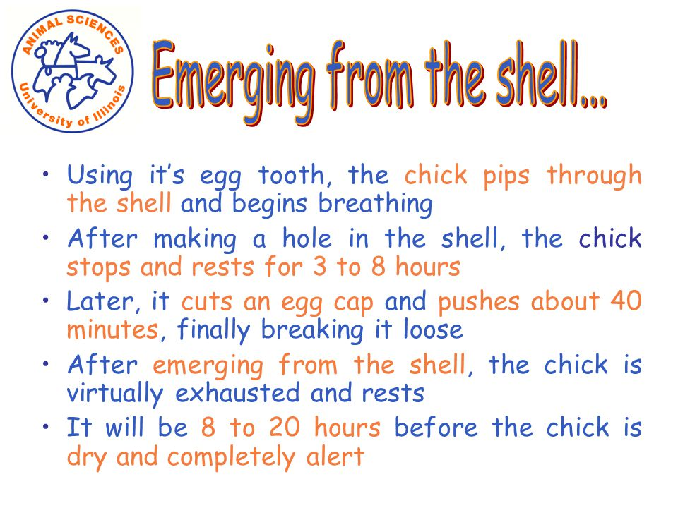 Using it's egg tooth, the chick pips through the shell and begins breathing After making a hole in the shell, the chick stops and rests for 3 to 8 hours Later, it cuts an egg cap and pushes about 40 minutes, finally breaking it loose After emerging from the shell, the chick is virtually exhausted and rests It will be 8 to 20 hours before the chick is dry and completely alert