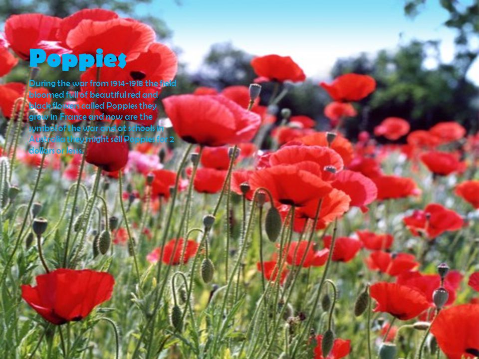 Poppies During the war from 1914-1918 the field bloomed full of beautiful red and black flowers called Poppies they grew in France and now are the symbol of the war and at schools in Australia they might sell Poppies for 2 dollars or lesss.
