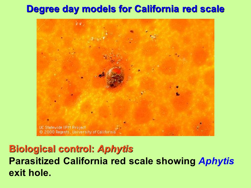 Parasitized California red scale showing Aphytis exit hole. Degree day models for California red scale Biological control: Aphytis
