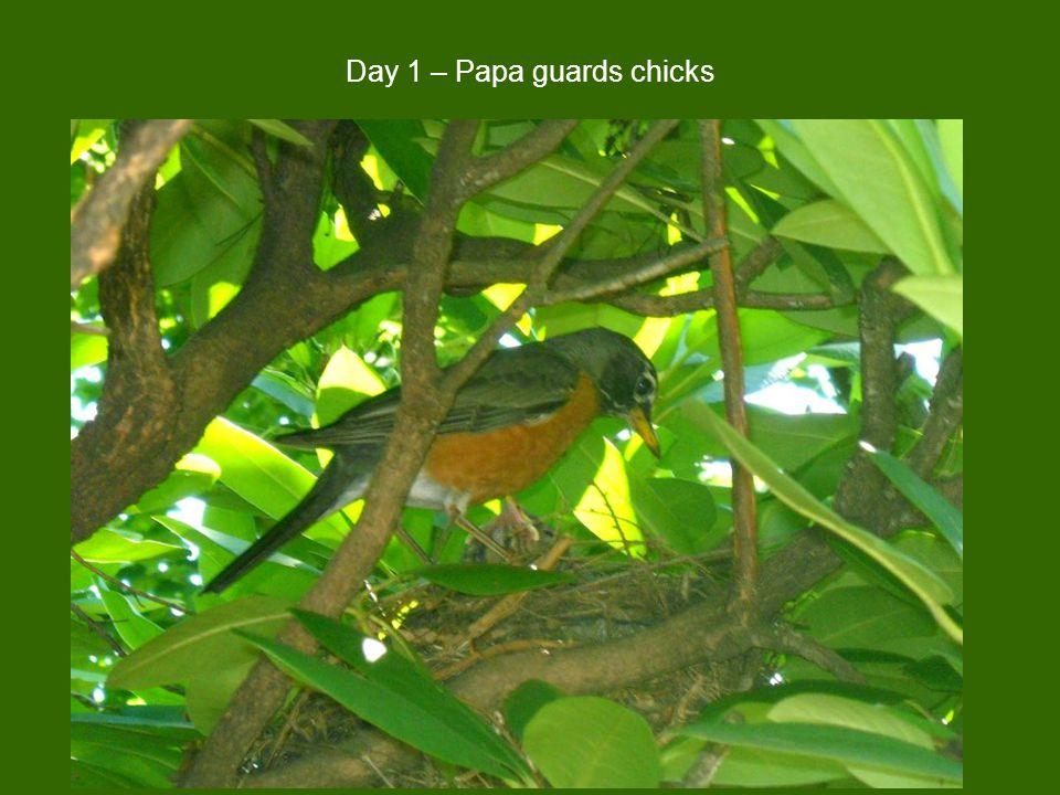 Day 1 – Papa guards chicks
