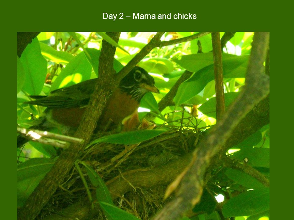 Day 2 – Mama and chicks