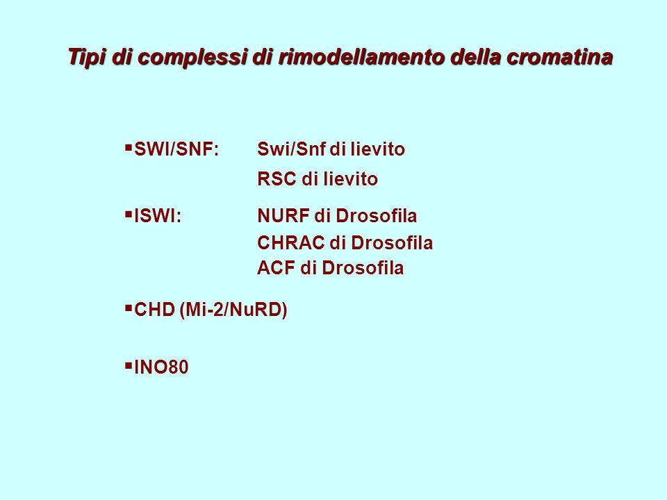 Tipi di complessi di rimodellamento della cromatina  SWI/SNF: Swi/Snf di lievito RSC di lievito  ISWI:NURF di Drosofila CHRAC di Drosofila ACF di Drosofila  CHD (Mi-2/NuRD)  INO80
