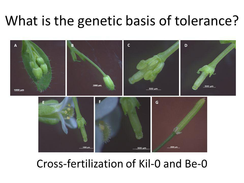 What is the genetic basis of tolerance? Cross-fertilization of Kil-0 and Be-0
