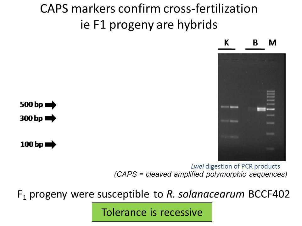 CAPS markers confirm cross-fertilization ie F1 progeny are hybrids LweI digestion of PCR products (CAPS = cleaved amplified polymorphic sequences) F 1
