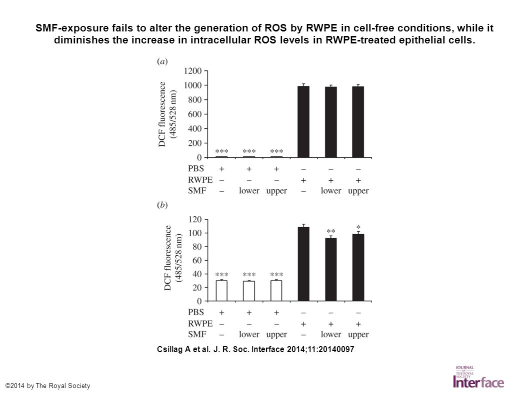 SMF-exposure fails to alter the generation of ROS by RWPE in cell-free conditions, while it diminishes the increase in intracellular ROS levels in RWPE-treated epithelial cells.