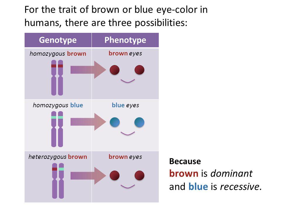 Eye-color Genotype Possibilities Mother's GenotypeFather's GenotypeOffspring's Genotype Possibilities homozygous blue heterozygous brown heterozygous brown heterozygous brown homozygous brown homozygous brown homozygous blue homozygous blue homozygous brown heterozygous brown heterozygous brown homozygous blue heterozygous brown heterozygous brown homozygous brown homozygous blue homozygous brown homozygous blue homozygous brown