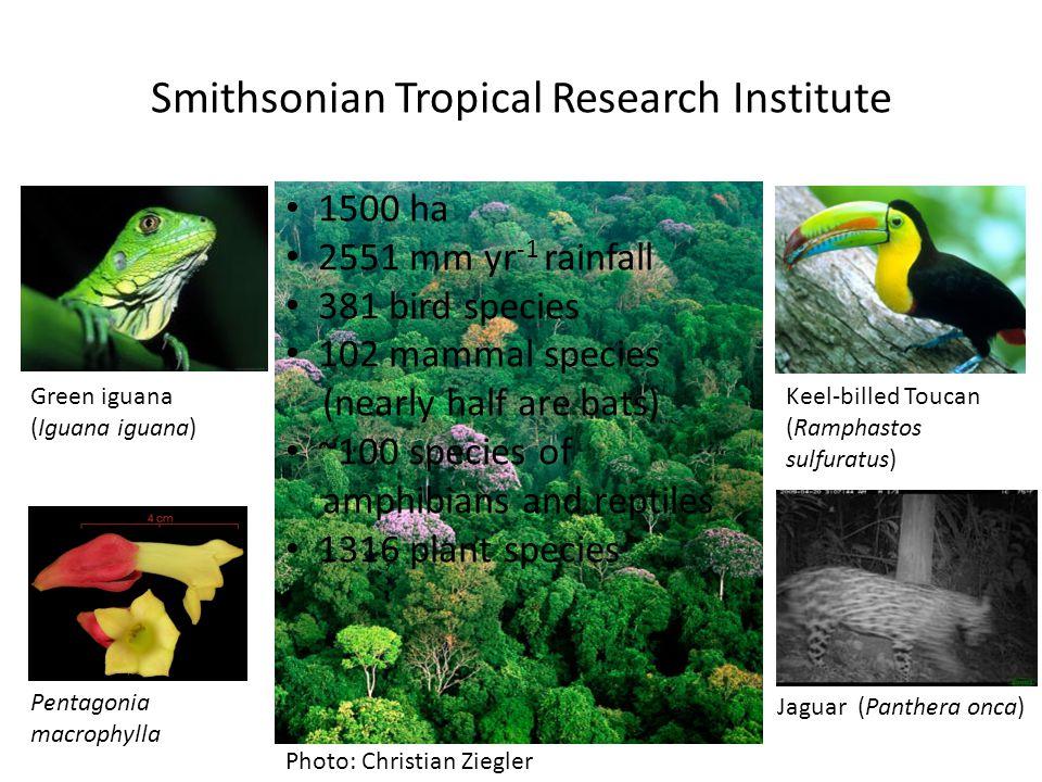 Smithsonian Tropical Research Institute Photo: Christian Ziegler Green iguana (Iguana iguana) Keel-billed Toucan (Ramphastos sulfuratus) Pentagonia ma