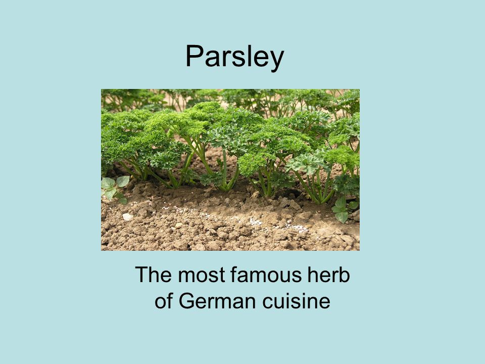 Parsley The most famous herb of German cuisine