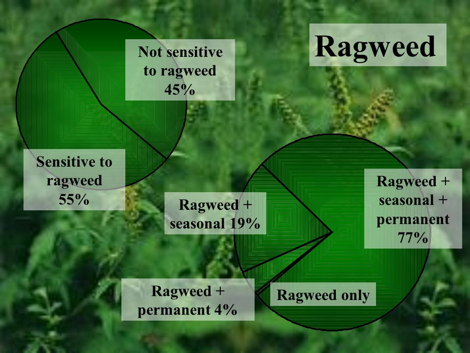 Ragweed Not sensitive to ragweed 45% Sensitive to ragweed 55% Ragweed + seasonal + permanent 77% Ragweed + seasonal 19% Ragweed + permanent 4% Ragweed only