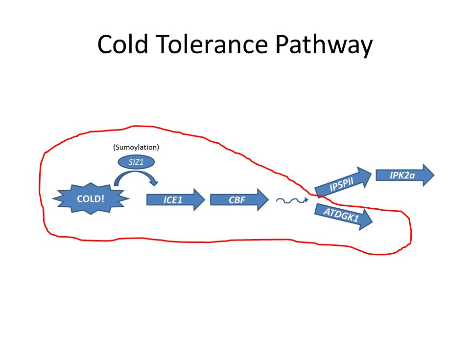 Cold Tolerance Pathway