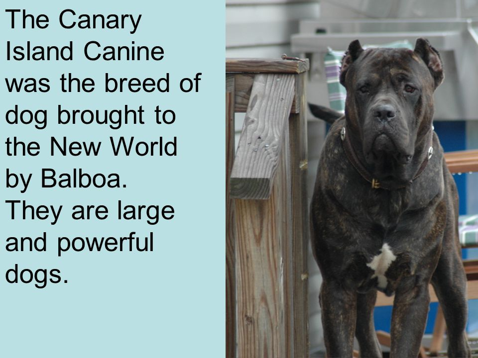 The Canary Island Canine was the breed of dog brought to the New World by Balboa. They are large and powerful dogs.