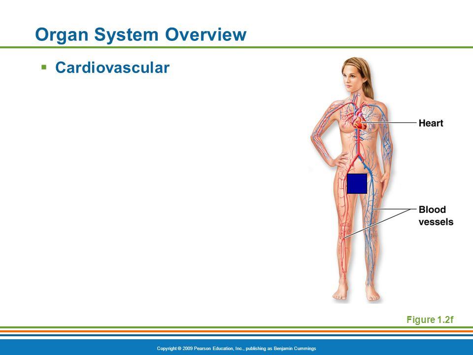 Copyright © 2009 Pearson Education, Inc., publishing as Benjamin Cummings Figure 1.2f Organ System Overview  Cardiovascular