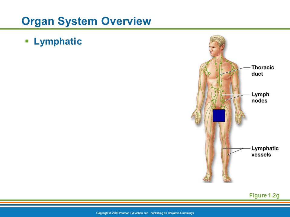 Copyright © 2009 Pearson Education, Inc., publishing as Benjamin Cummings Organ System Overview  Lymphatic Figure 1.2g