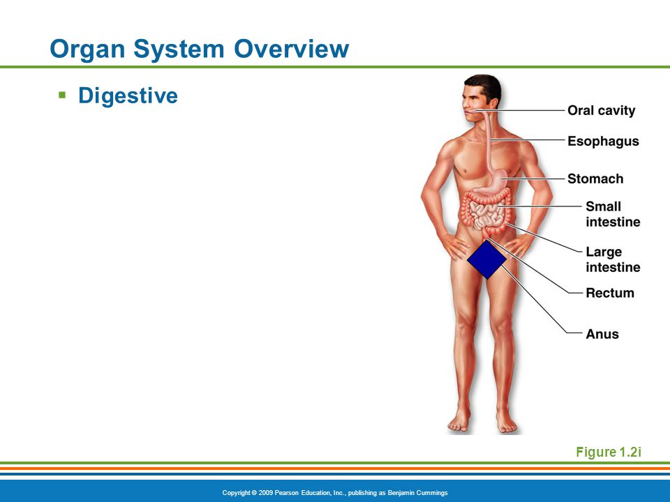 Copyright © 2009 Pearson Education, Inc., publishing as Benjamin Cummings Organ System Overview  Digestive Figure 1.2i