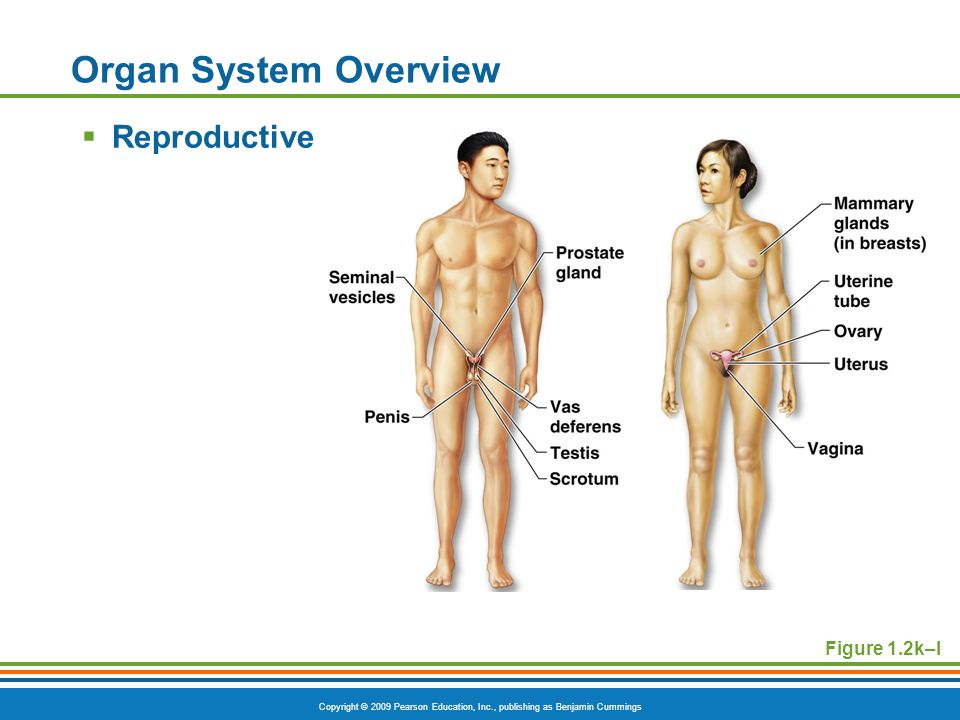 Copyright © 2009 Pearson Education, Inc., publishing as Benjamin Cummings Organ System Overview  Reproductive Figure 1.2k–l