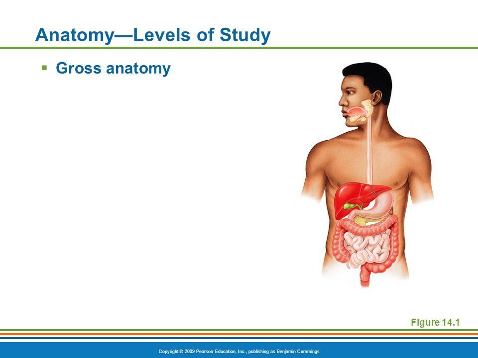 Copyright © 2009 Pearson Education, Inc., publishing as Benjamin Cummings Anatomy—Levels of Study  Gross anatomy Figure 14.1