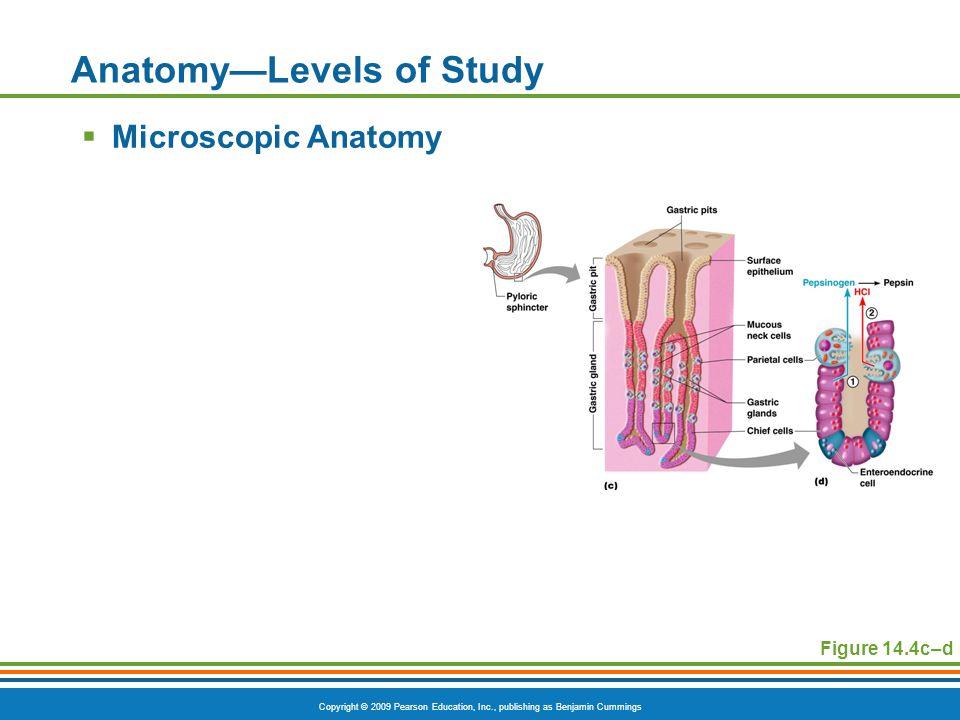 Copyright © 2009 Pearson Education, Inc., publishing as Benjamin Cummings Anatomy—Levels of Study  Microscopic Anatomy Figure 14.4c–d