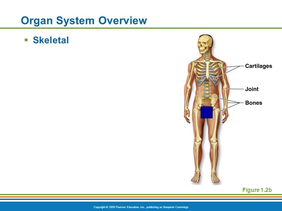 Copyright © 2009 Pearson Education, Inc., publishing as Benjamin Cummings Figure 1.2b Organ System Overview  Skeletal