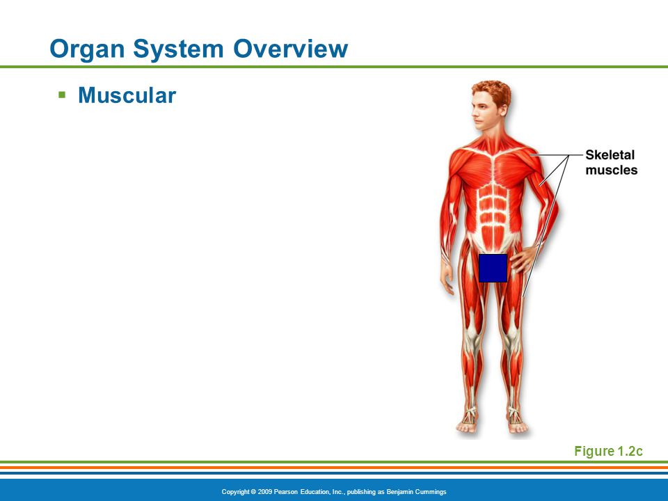 Copyright © 2009 Pearson Education, Inc., publishing as Benjamin Cummings Figure 1.2c Organ System Overview  Muscular