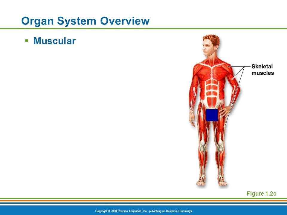 Copyright © 2009 Pearson Education, Inc., publishing as Benjamin Cummings Figure 1.2c Organ System Overview  Muscular