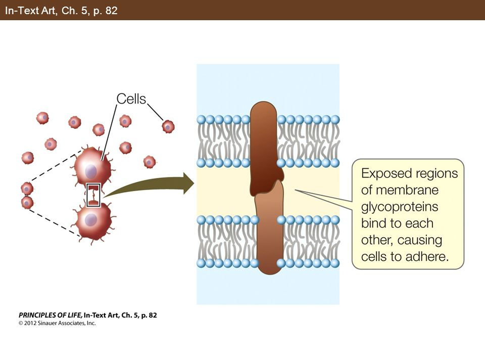 Figure 5.3 Osmosis Can Modify the Shapes of Cells (Part 2)