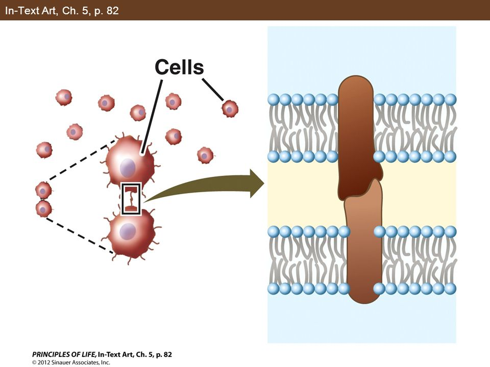 Figure 5.6 A Carrier Protein Facilitates Diffusion (Part 1)