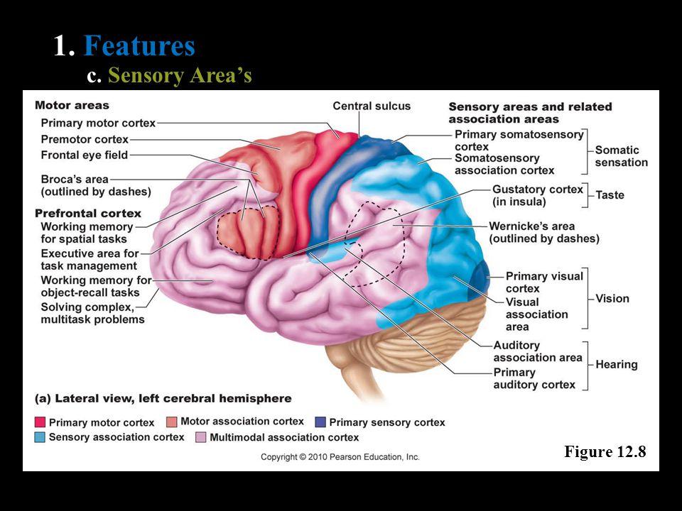 1. Features c. Sensory Area's Figure 12.8