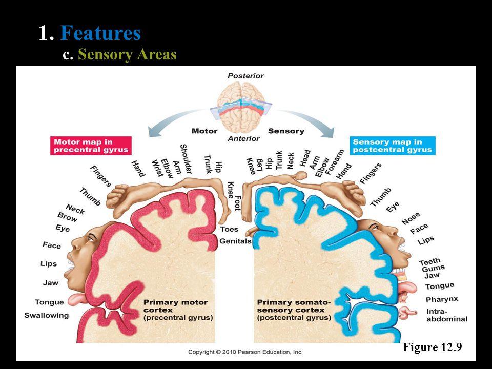 1. Features c. Sensory Areas Figure 12.9