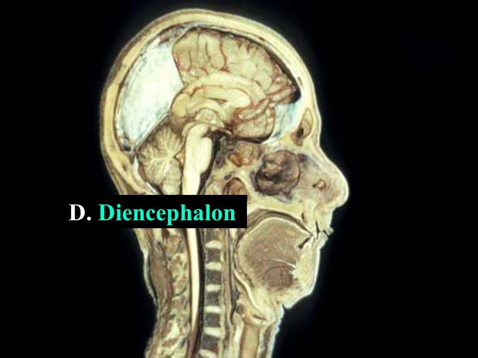 D. Diencephalon