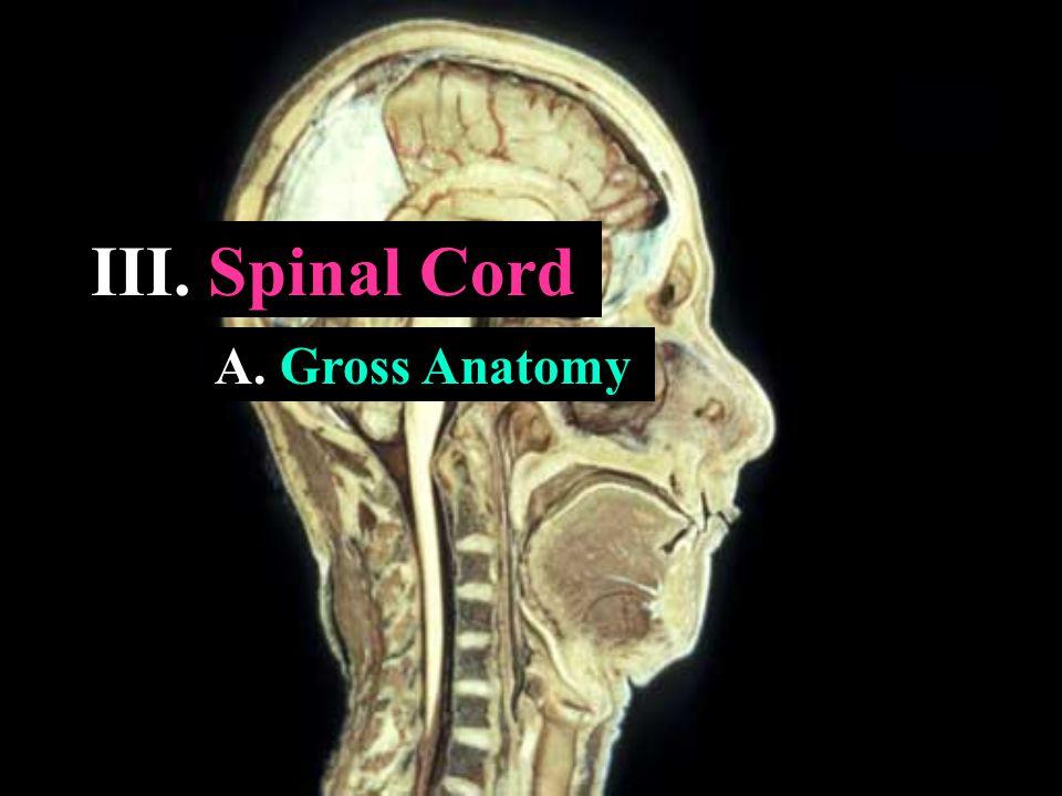 III. Spinal Cord A. Gross Anatomy