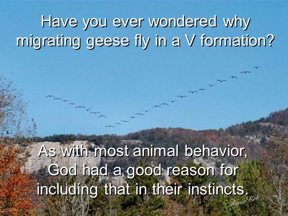 Have you ever wondered why migrating geese fly in a V formation.