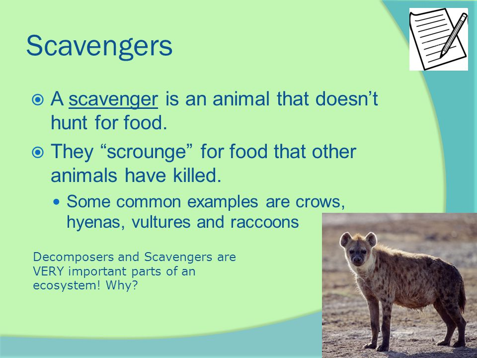 "Scavengers  A scavenger is an animal that doesn't hunt for food.  They ""scrounge"" for food that other animals have killed. Some common examples are"