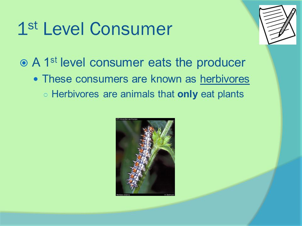 1 st Level Consumer  A 1 st level consumer eats the producer These consumers are known as herbivores ○ Herbivores are animals that only eat plants