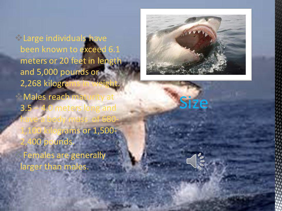  The Great White Shark is also known as the Great White, White Death, White Shark, and White Pointer.