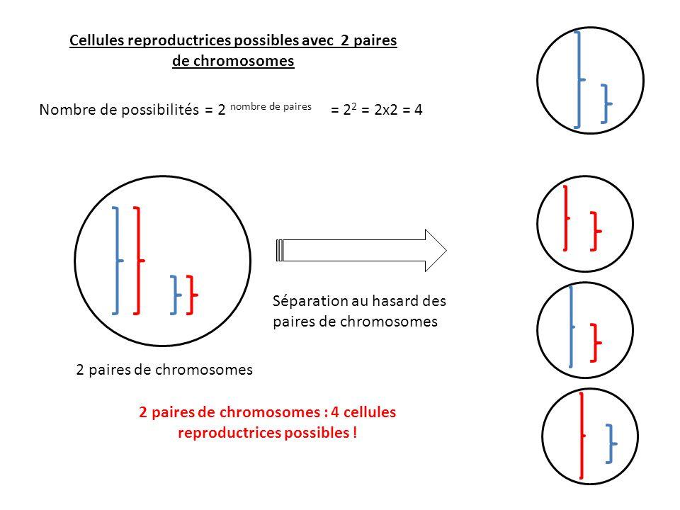 Cellules reproductrices possibles avec 2 paires de chromosomes Nombre de possibilités = 2 nombre de paires = 2 2 = 2x2 = 4 2 paires de chromosomes Sép