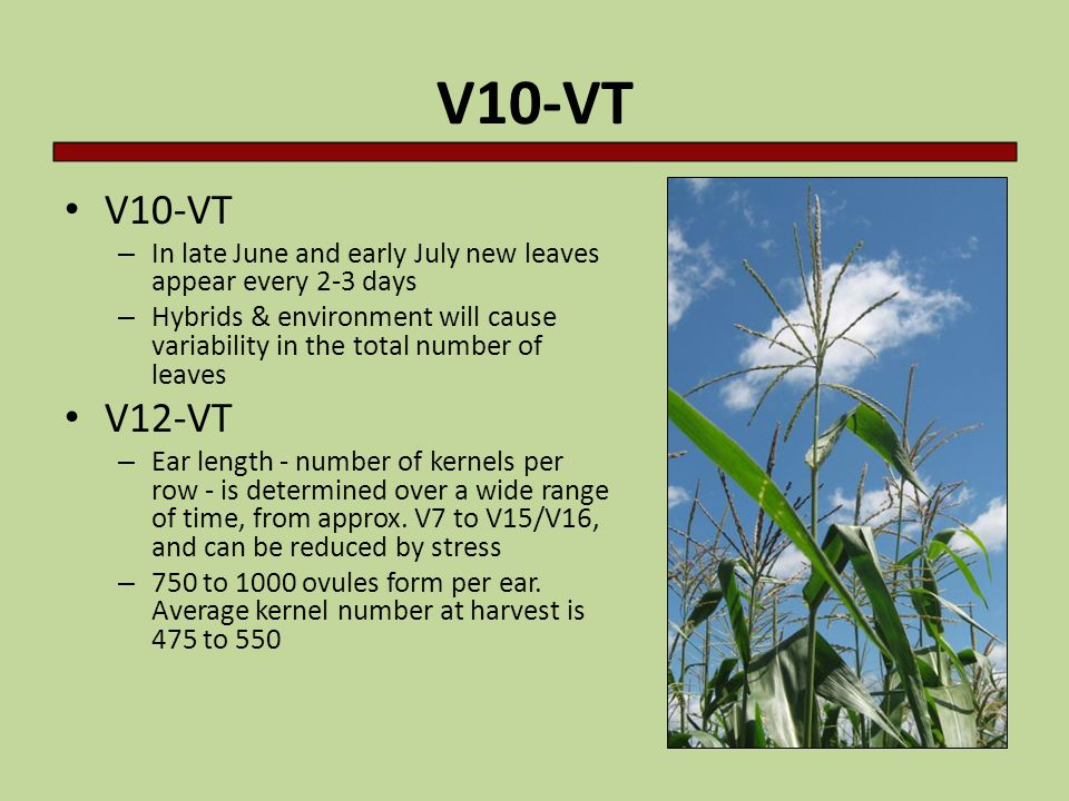 V10-VT – In late June and early July new leaves appear every 2-3 days – Hybrids & environment will cause variability in the total number of leaves V12