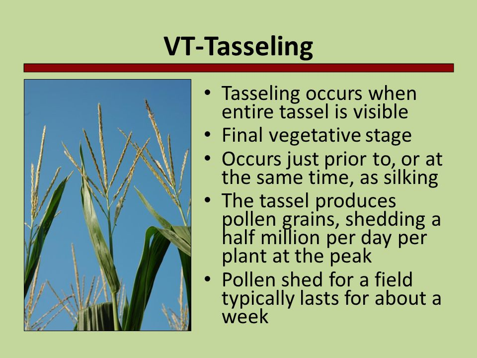 VT-Tasseling Tasseling occurs when entire tassel is visible Final vegetative stage Occurs just prior to, or at the same time, as silking The tassel pr