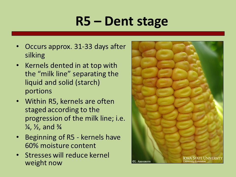 "Occurs approx. 31-33 days after silking Kernels dented in at top with the ""milk line"" separating the liquid and solid (starch) portions Within R5, ker"