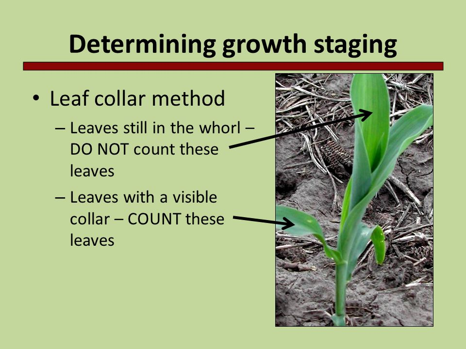 Vegetative stages Vegetative Stages - VE: Shoot emerges from soil - V1: Collar is visible on lowest leaf - V2: Collar is visible on two lowest leaves - V(n): Each successive collar visible - VT: Lowest branch of tassel visible, before silks
