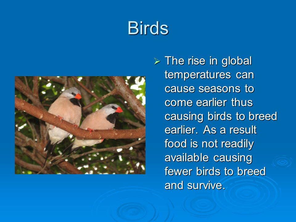 Birds  The rise in global temperatures can cause seasons to come earlier thus causing birds to breed earlier.