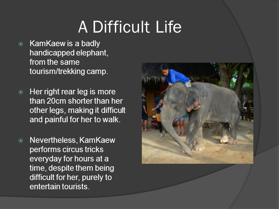 A Difficult Life  KamKaew is a badly handicapped elephant, from the same tourism/trekking camp.  Her right rear leg is more than 20cm shorter than h
