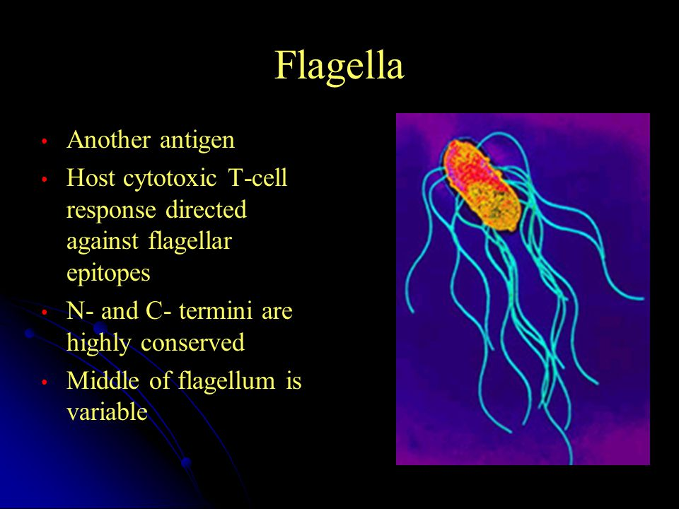 Flagella Another antigen Host cytotoxic T-cell response directed against flagellar epitopes N- and C- termini are highly conserved Middle of flagellum is variable