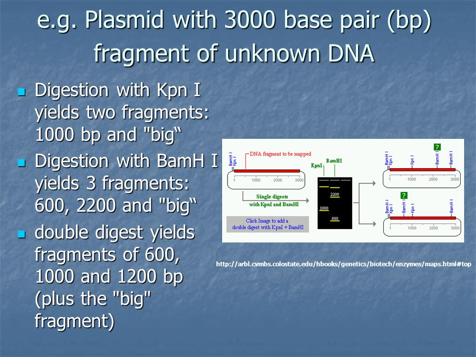 e.g. Plasmid with 3000 base pair (bp) fragment of unknown DNA Digestion with Kpn I yields two fragments: 1000 bp and