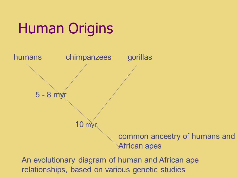 Humans in an Evolutionary Framework Later lectures will explore our evolutionary development in much greater detail, and examine the fossil evidence documenting the emergence of modern humans.