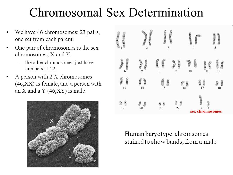 Chromosomal Sex Determination We have 46 chromosomes: 23 pairs, one set from each parent. One pair of chromosomes is the sex chromosomes, X and Y. –th
