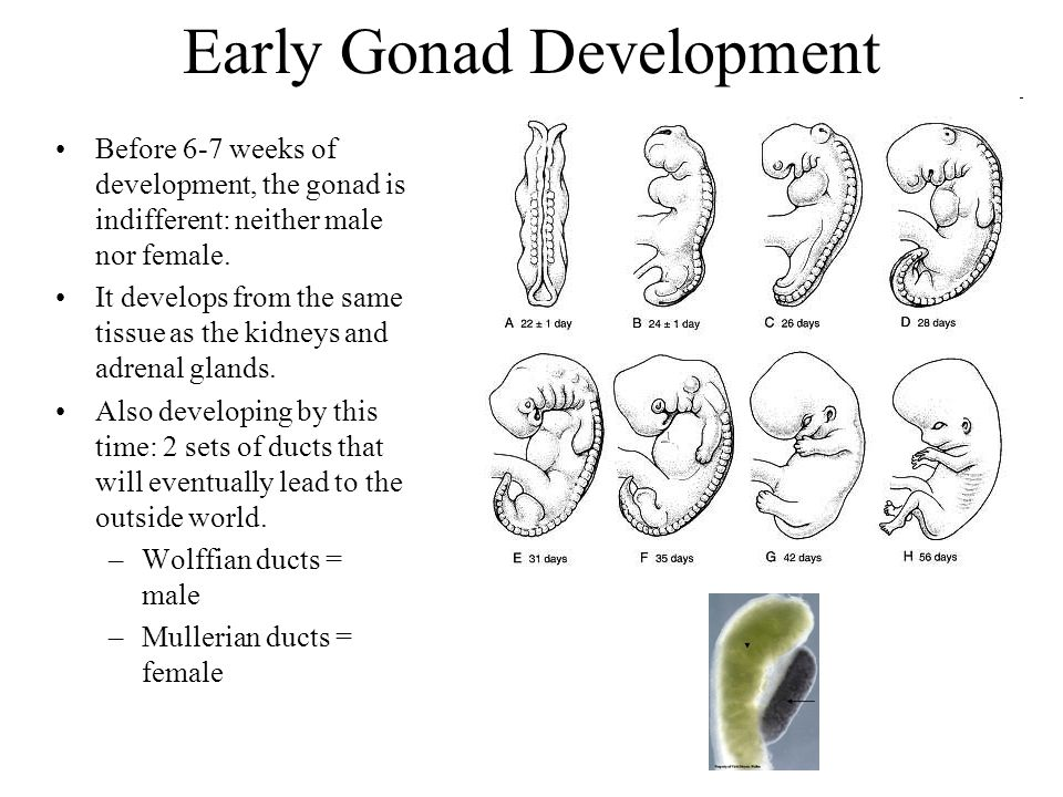 Early Gonad Development Before 6-7 weeks of development, the gonad is indifferent: neither male nor female. It develops from the same tissue as the ki