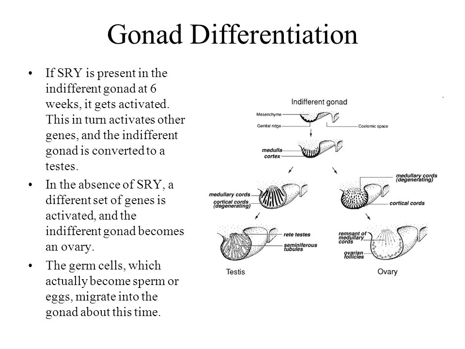 Gonad Differentiation If SRY is present in the indifferent gonad at 6 weeks, it gets activated. This in turn activates other genes, and the indifferen