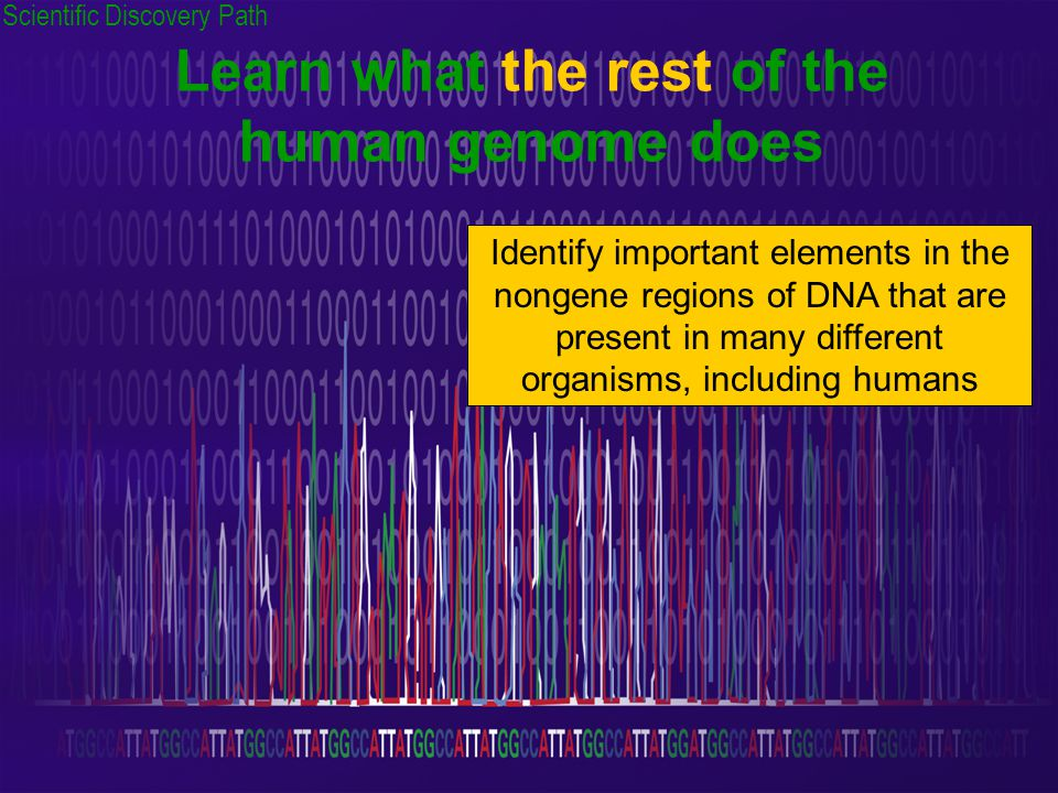 Learn what the rest of the human genome does Identify important elements in the nongene regions of DNA that are present in many different organisms, including humans Scientific Discovery Path