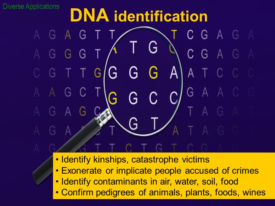 DNA identification Identify kinships, catastrophe victims Exonerate or implicate people accused of crimes Identify contaminants in air, water, soil, food Confirm pedigrees of animals, plants, foods, wines Diverse Applications
